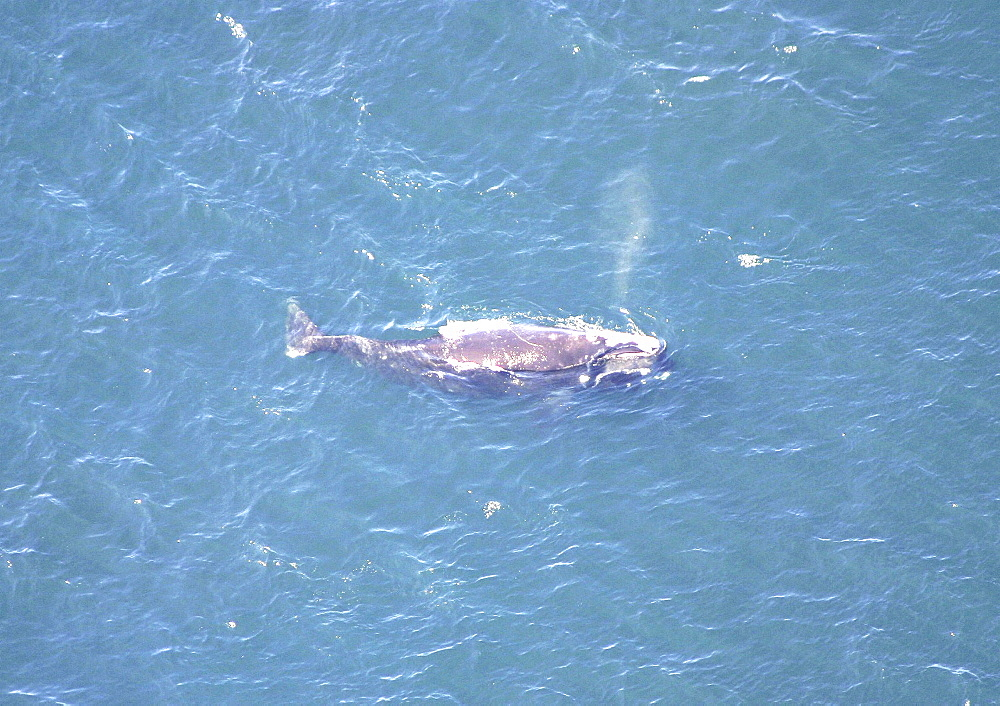 Aerial view of Northern right whale (Balaena glacialis glacialis) surfacing. Gulf of Maine, USA.   (rr) - 947-46