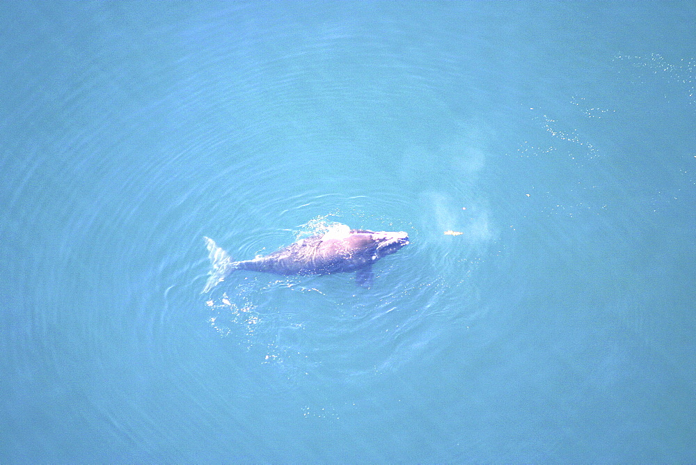 Aerial view of Northern right whale (Balaena glacialis glacialis) surfacing. Gulf of Maine, USA.   (rr) - 947-48