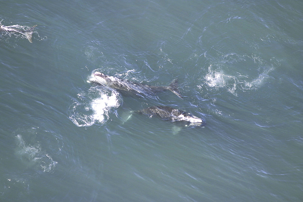Aerial view of Northern right whales (Balaena glacialis glacialis) in courtship. Gulf of Maine, USA.   (rr) - 947-49
