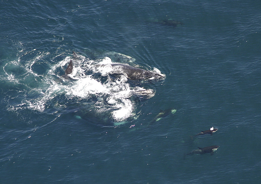 Aerial view of a pod of Killer whales (Orcinus orca) and Northern right whales (Balaena glacialis glacialis). Gulf of Maine, USA   (rr) - 947-5