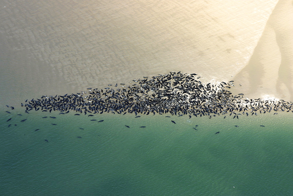 Aerial view of a larger group of  seals hauled out on the sand and in the water. Gulf of Maine, USA   (rr) - 947-50