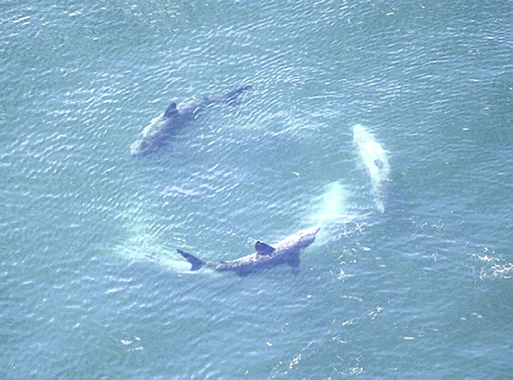 Aerial view of cartwheeling Basking Sharks (Cetorhinus Maximus). Gulf of Maine, USA    (rr) - 947-57