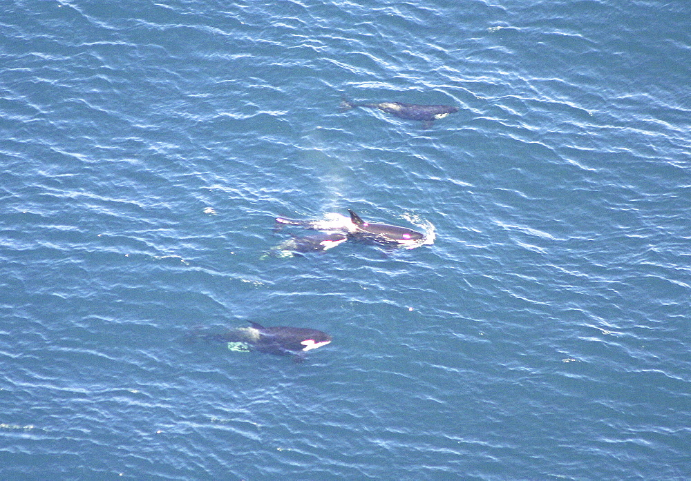 Aerial view of a pod of Killer whales (Orcinus orca). Gulf of Maine, USA     (rr) - 947-6