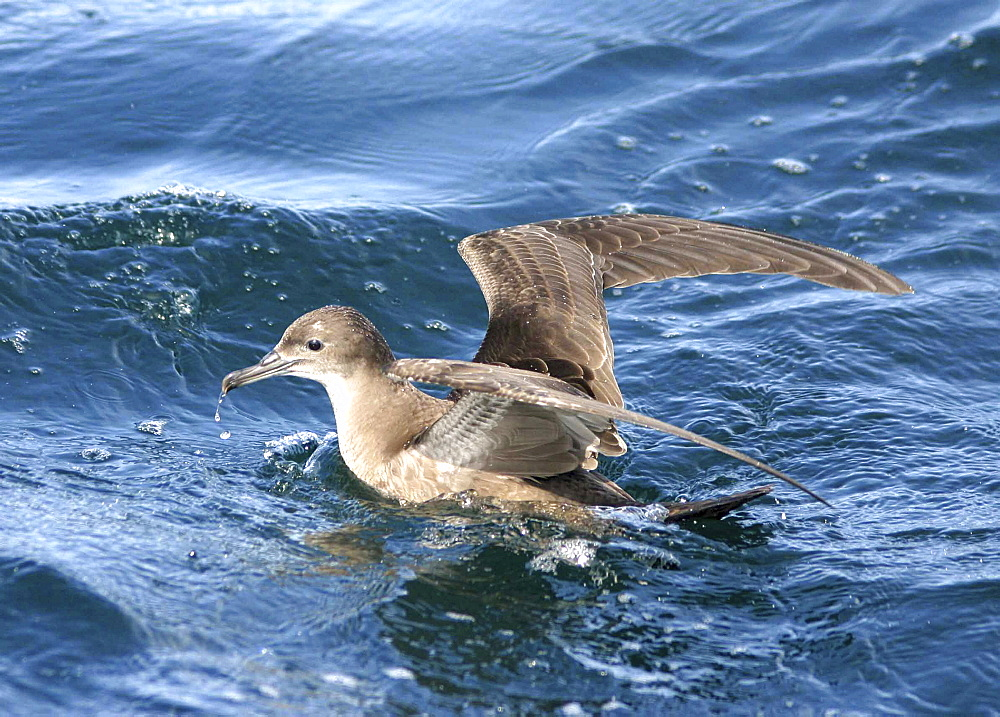 Sooty Shearwater (Puffinus griseus). Gulf of Maine, USA    (rr) - 947-66