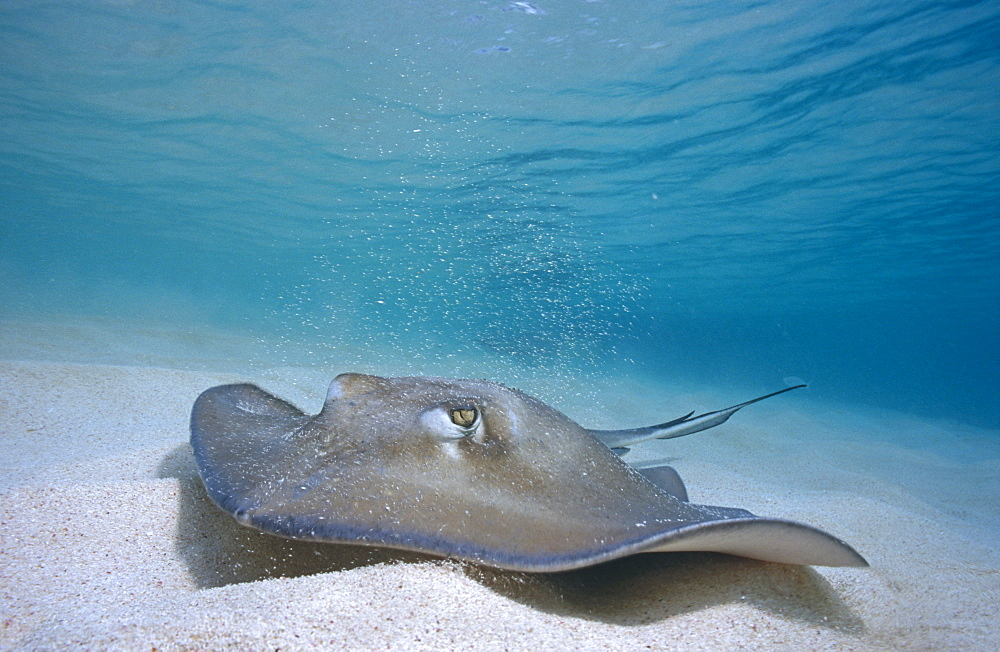 Southern Sting Ray (Dasyatis Americana) swimming over sandy seabed in shallow water. Cayman Islands.