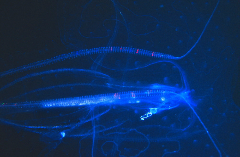 Delicate shape of a Jellyfish against a dark sea. Seychelles.