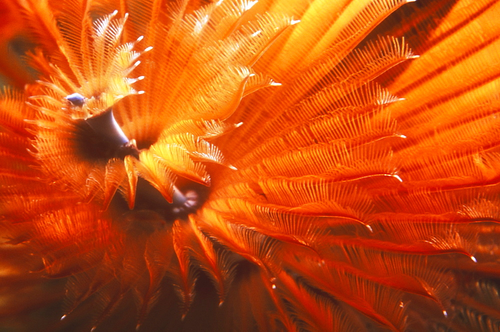 Close up deatail of glowing red and orange Christmas Tree Worm showing spiral shape. Cayman Islands.