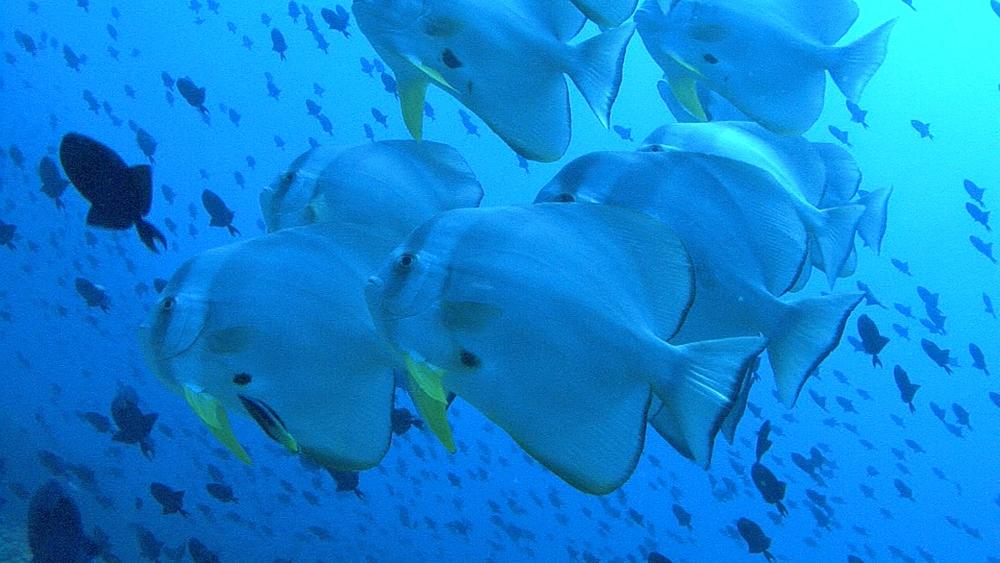 Bat fish. Maldives, Indian Ocean. - 958-399