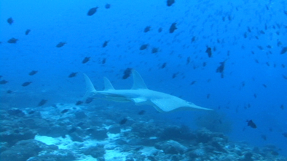 Guitar Shark. Maldives, Indian Ocean. - 958-445