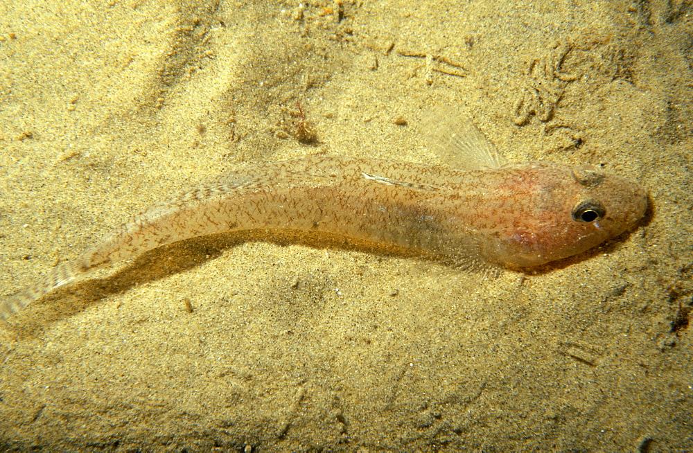 Sand eel (Hyperoplus lanceolatus) resting on the sea bed. UK.