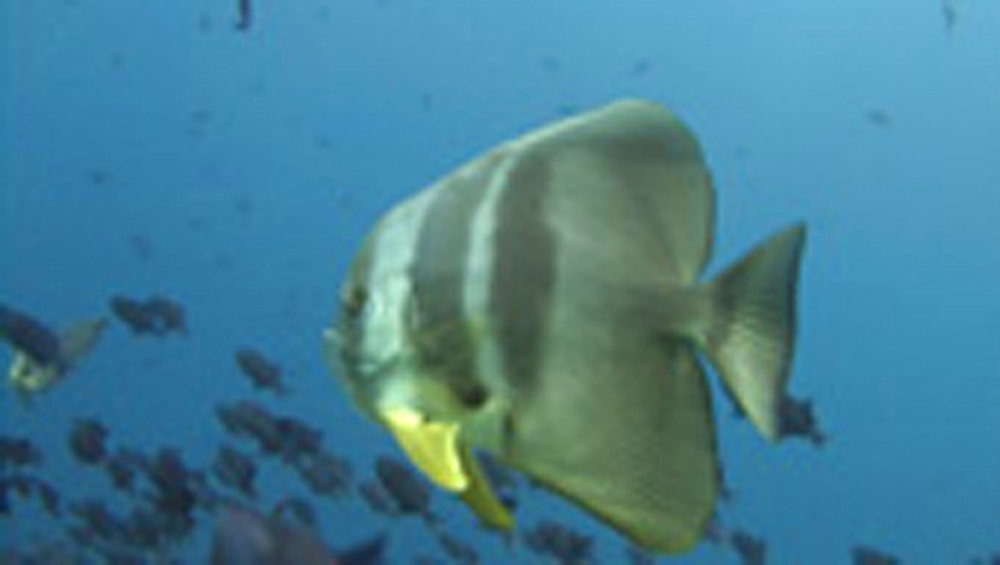 Bat fish. Maldives, Indian Ocean - 958-698