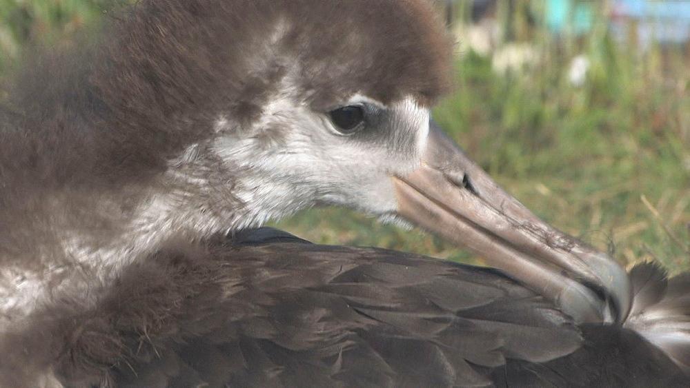 Laysan albatross chick (Phoebastria immutabilis) preens. Conservation story - rubbish. Midway Island. Pacific