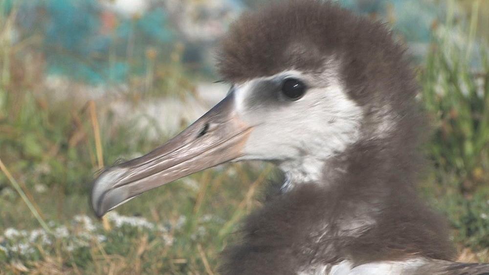 Laysan albatross chick (Phoebastria immutabilis). Conservation story - rubbish. Midway Island. Pacific