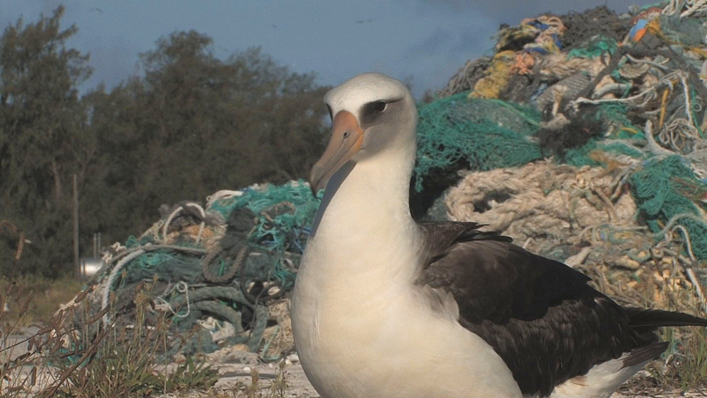 Laysan albatross adult (Phoebastria immutabilis) in front of mound of rubbish. Conservation story - rubbish. Midway Island. Pacific