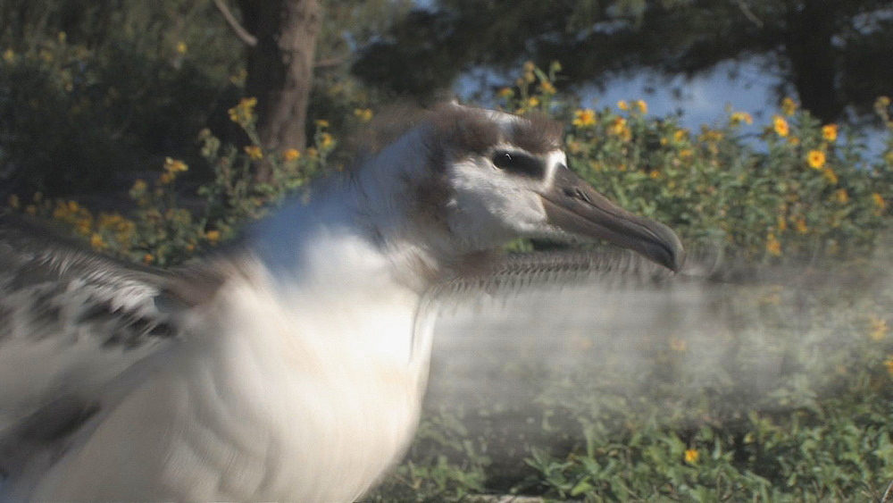 Laysan albatross chick (Phoebastria immutabilis) in moult on cinder road, stretches wings. Midway Island. Pacific - 959-176