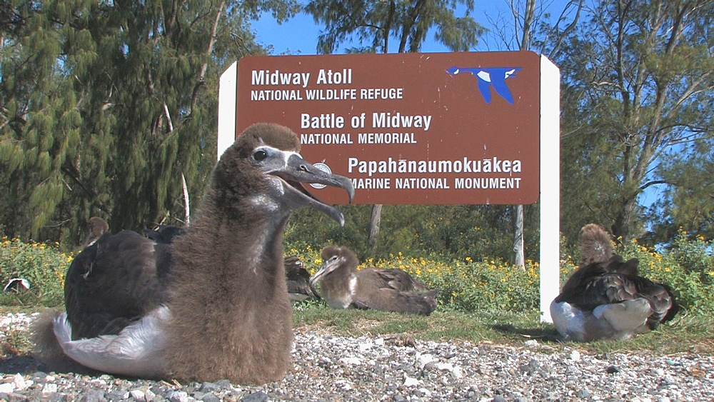 Laysan albatross chick (Phoebastria immutabilis) by wildlife refuge sign. Midway Island. Pacific - 959-178