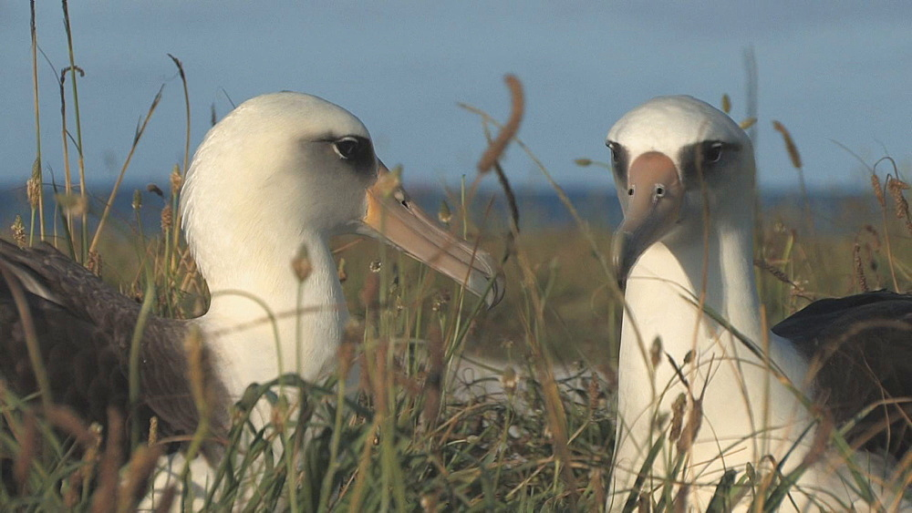 Laysan albatross adults (Phoebastria immutabilis) pair at nest site. Midway Island. Pacific - 959-182