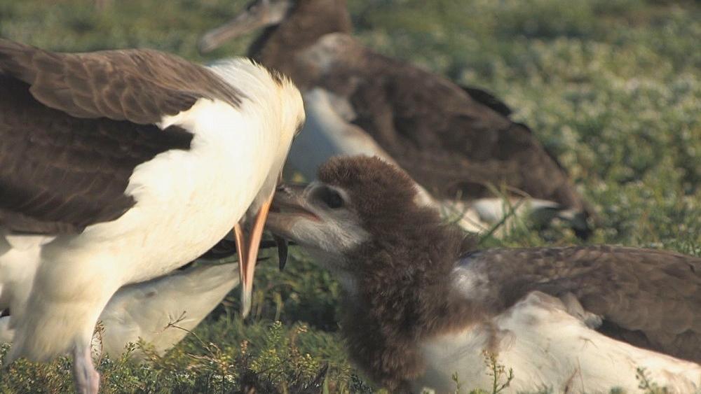 Laysan albatross adult (Phoebastria immutabilis) feeds begging chick. Midway Island. Pacific - 959-192