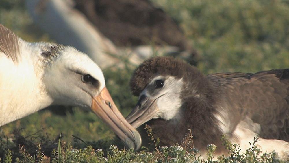 Laysan albatross adult (Phoebastria immutabilis) feeds begging chick. Midway Island. Pacific - 959-193