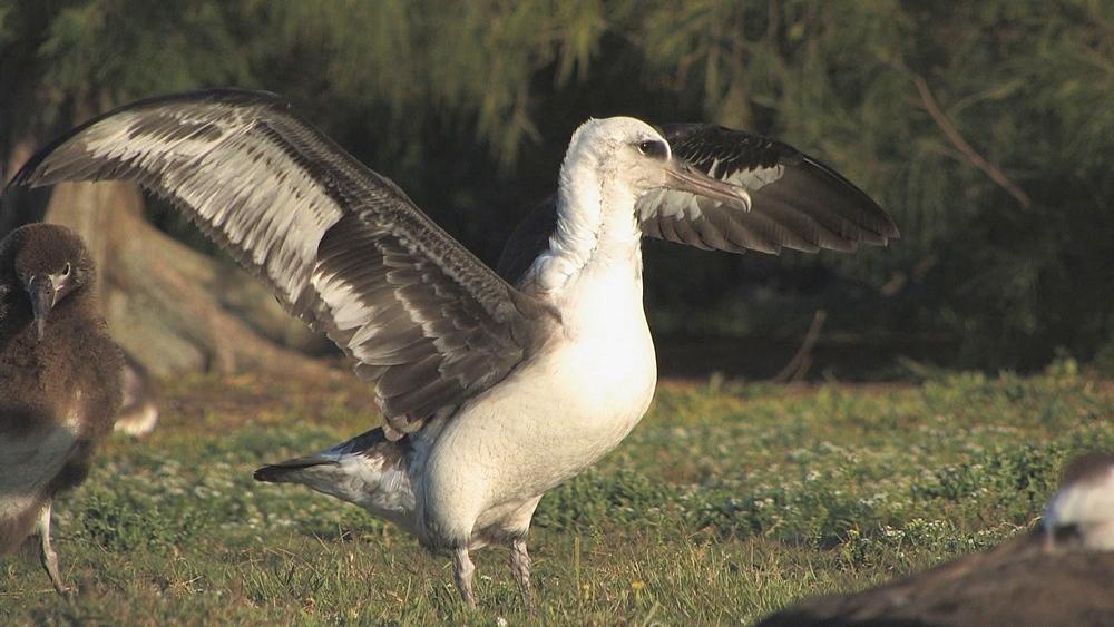 Laysan albatross (Phoebastria immutabilis) spreads wings. Midway Island. Pacific - 959-195