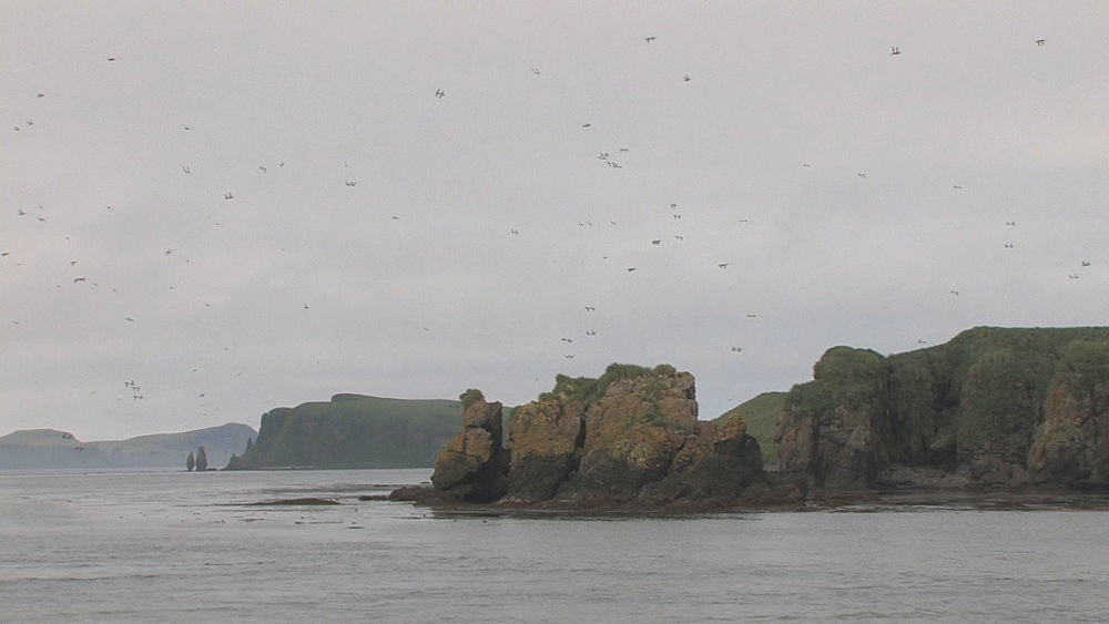 Flock of birds (currently unidentified, probably puffins) fly towards breeding cliffs. Northern Pacific, Aleutian Islands. Alaska