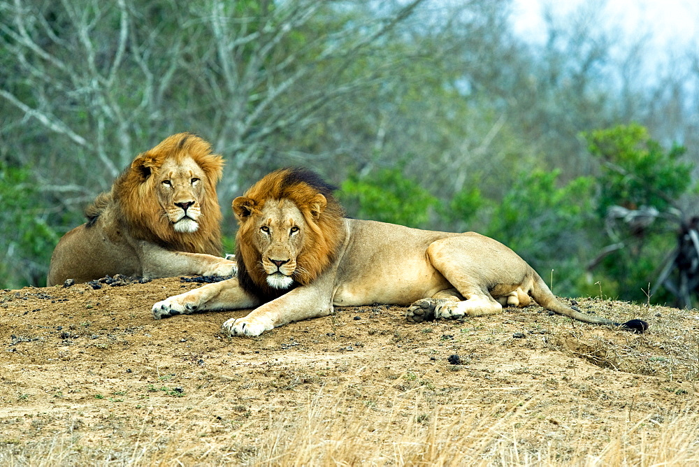 African Lions (Panthera Leo) wild adult males. Phinda Reserve, South Africa.