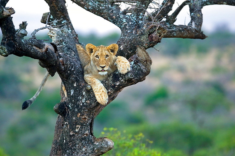 African Lion (Panthera Leo) wild cub. Phinda Reserve, South Africa. - 965-133