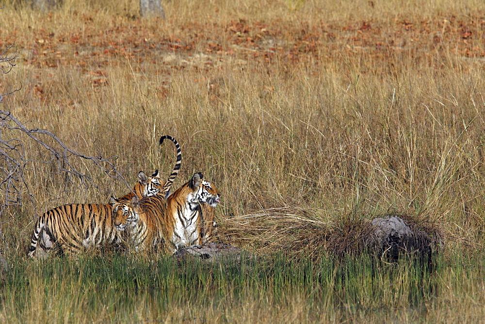 Bengal Tigers (Panthera tigris tigris) wild adult female and cubs, critically endangered. Bandhavgarh Tiger Reserve, India.