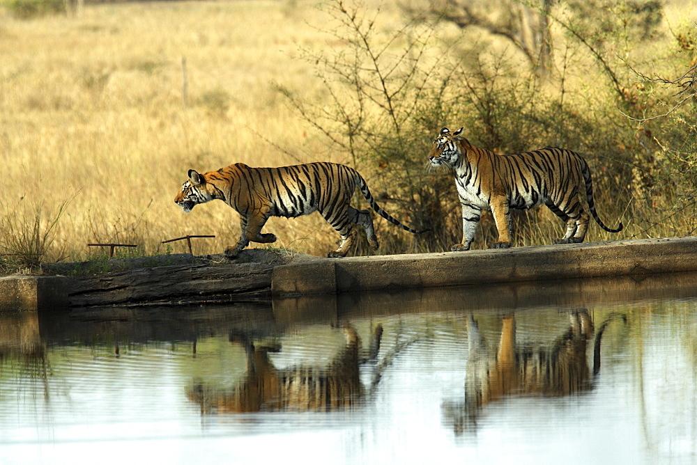 Bengal Tigers (Panthera tigris tigris) wild adult female and cub, critically endangered. Bandhavgarh Tiger Reserve, India.