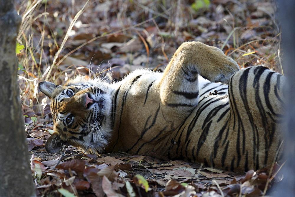 Bengal Tiger (Panthera tigris tigris), wild adult male, critically endangered. Bandhavgarh Tiger Reserve, India.