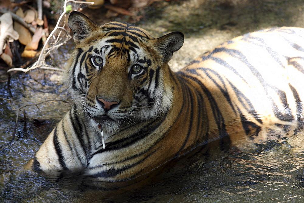 Bengal Tigers (Panthera tigris tigris),wild adult males, critically endangered. Bandhavgarh Tiger Reserve, India.