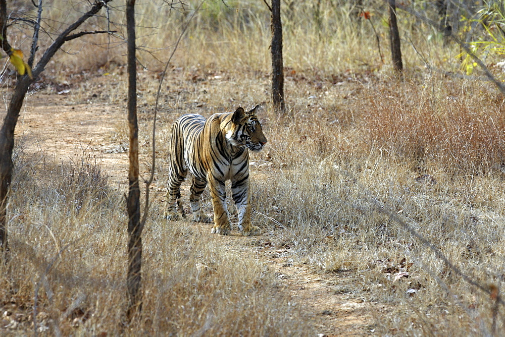 Bengal Tiger (Panthera tigris tigris) wild adult male, critically endangered.  Bandhavgarh Tiger Reserve. India.