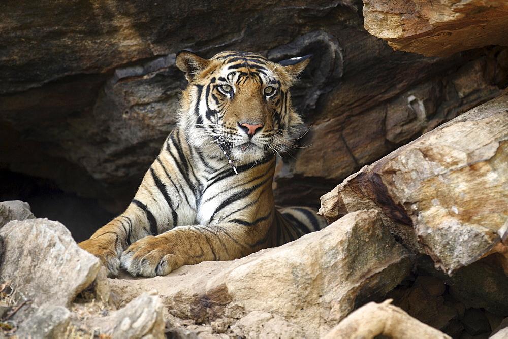Bengal Tiger (Panthera tigris tigris) wild adult male, critically endangered.  Bandhavgarh Tiger Reserve, India.