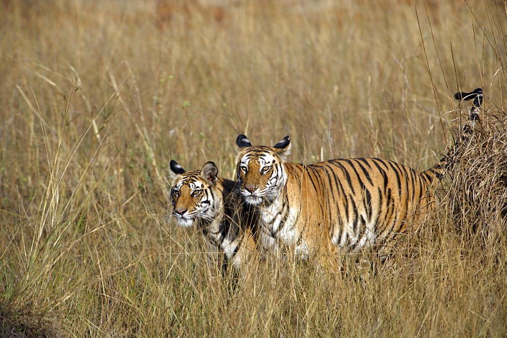 Bengal Tigers (Panthera tigris tigris) wild adult female and cub, critically endangered, Bandhavgarh Tiger Reserve, India.