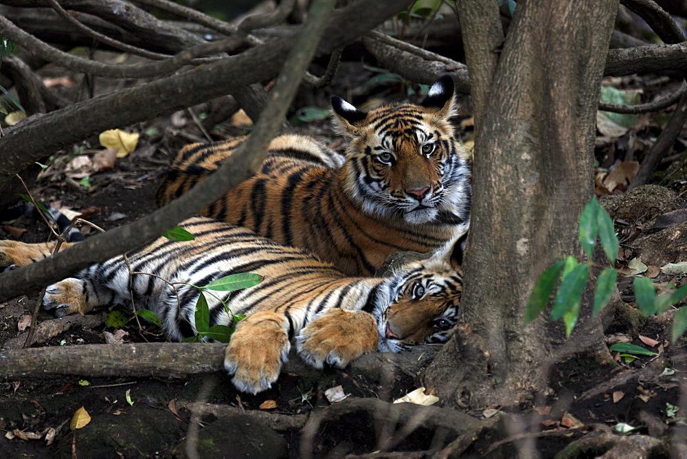 Bengal Tiger (Panthera Tigris Tigris), wild, two 12 month old cubs, critically endangered. Bandhavgarh Tiger Reserve, India