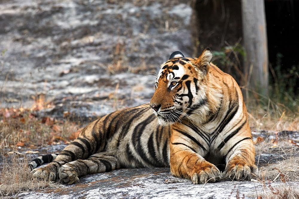 Bengal Tiger (Panthera Tigris Tigris), wild, adult male, critically endangered. Bandhavgarh Tiger Reserve, India