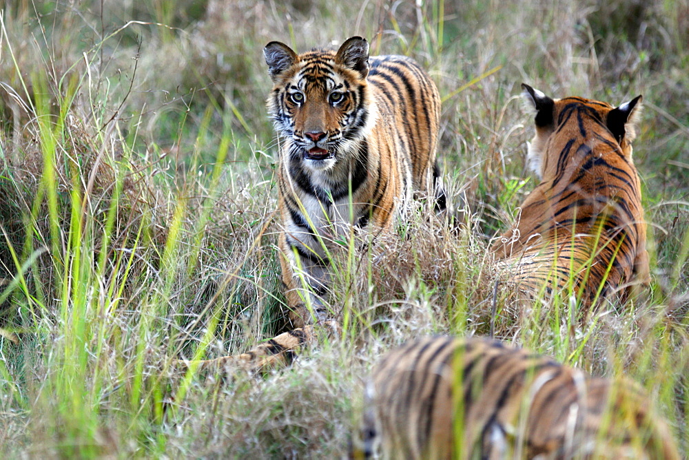 Bengal Tiger (Panthera Tigris Tigris), wild, adult female with two 12 month old cubs, critically endangered. Bandhavgarh Tiger Reserve, India