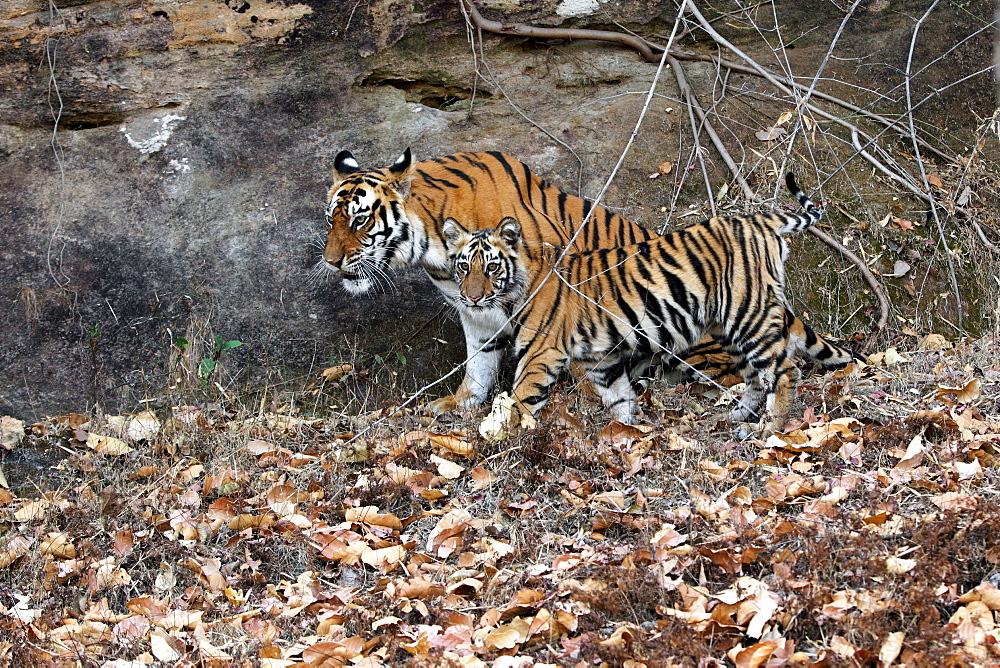 Bengal Tiger (Panthera Tigris Tigris), wild, adult female with 12 month old cub, critically endangered. Bandhavgarh Tiger Reserve, India
