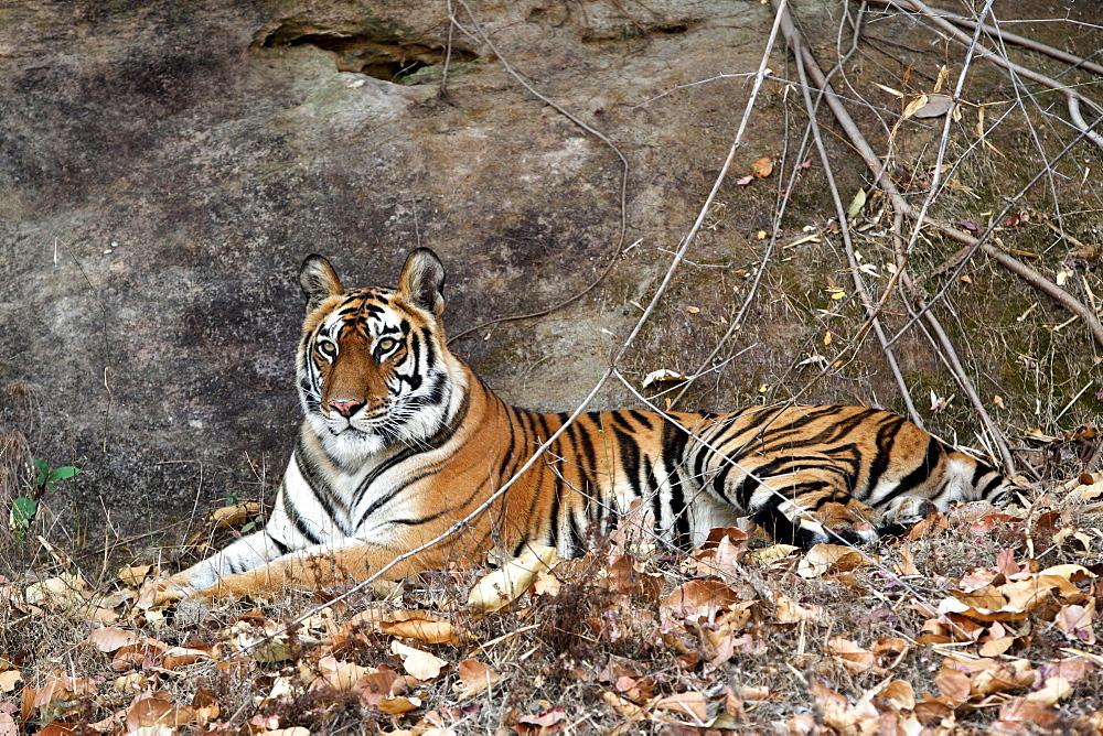 Bengal Tiger (Panthera Tigris Tigris), wild, adult female, critically endangered. Bandhavgarh Tiger Reserve, India