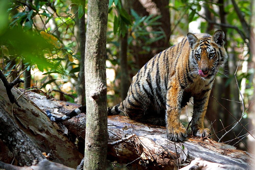 Bengal Tiger (Panthera Tigris Tigris), wild, 12 month old cub, critically endangered. Bandhavgarh Tiger Reserve, India