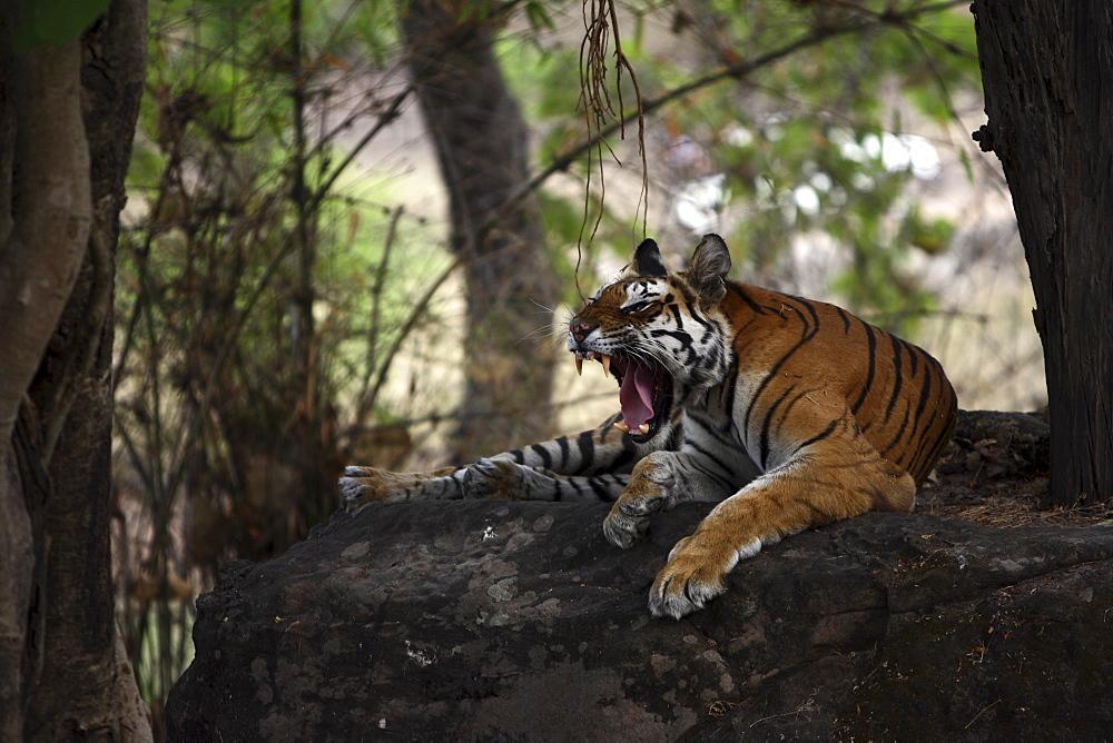 Bengal Tiger (Panthera Tigris Tigris) wild adult female, critically endangered. Bandhavgarh Tiger Reserve, India.