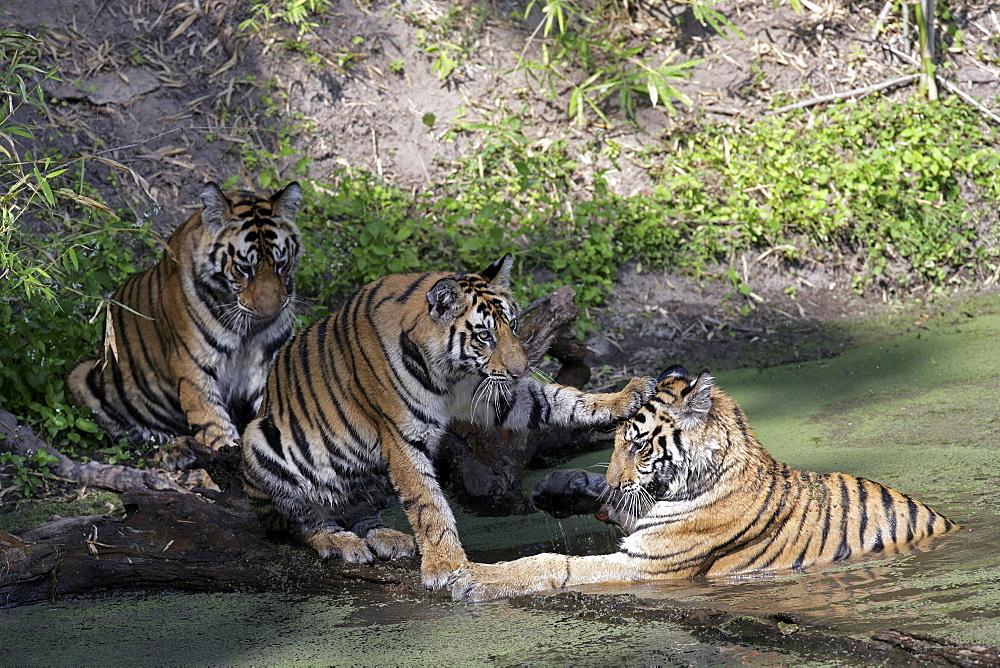 Bengal Tigers (Panthera tigris tigris), wild cubs, critically endangered. Bandhavgarh Tiger Reserve, India.
