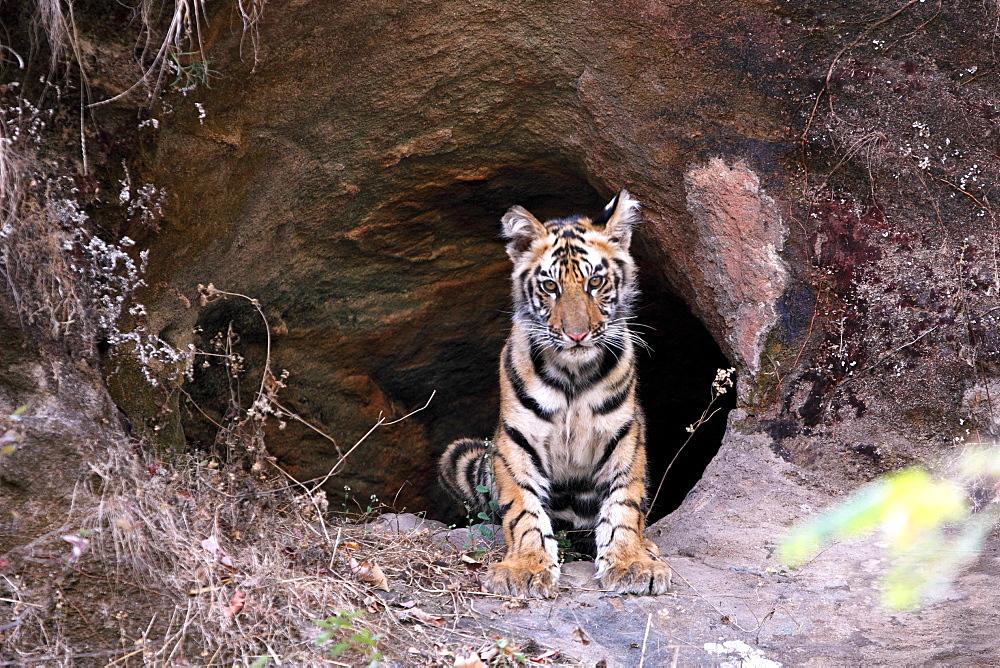 Bengal Tiger (Panthera Tigris Tigris), wild, two 12 month old cubs, critically endangered. Bandhavgaarh Tiger Reserve