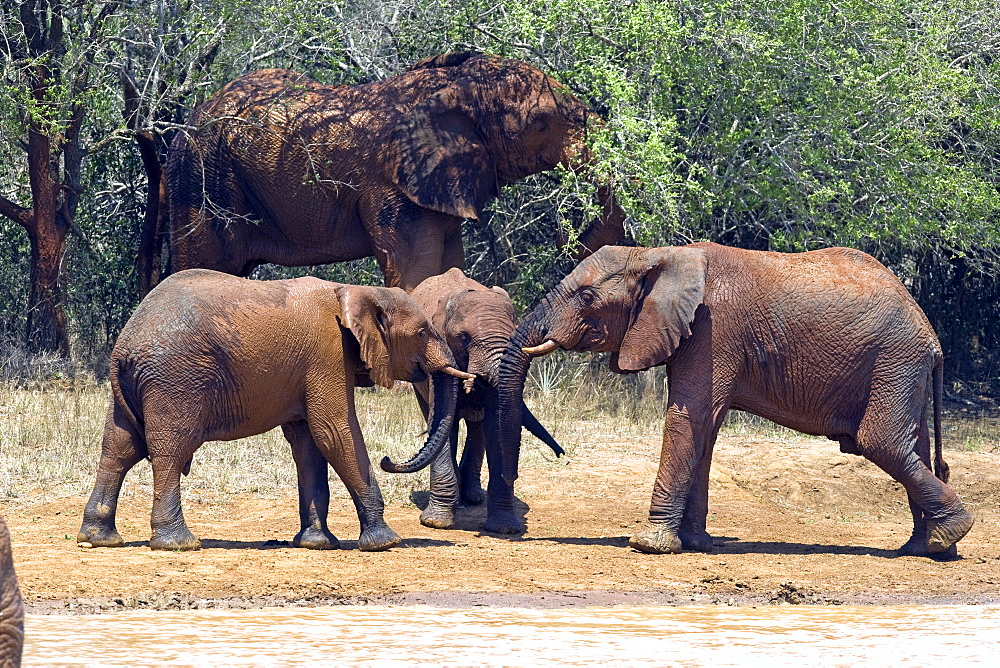 African Elephants (Loxodonta africana) wild female adult and juveniles. Phinda Reserve, South Africa.