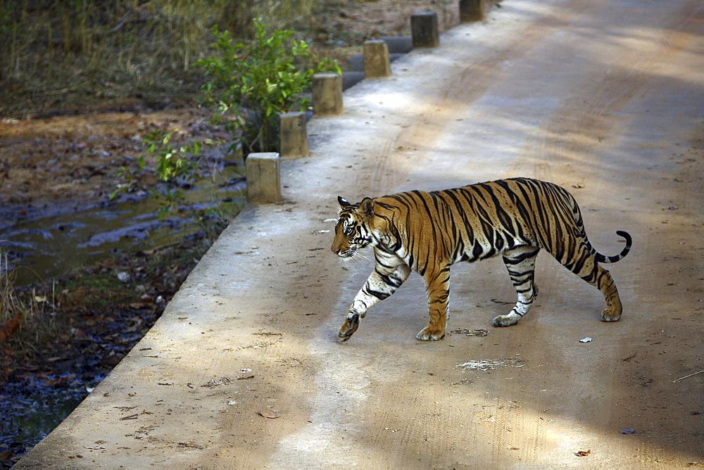 Bengal Tiger (Panthera tigris tigris),wild adult male, critically endangered. Bandhavgarh Tiger Reserve, India.