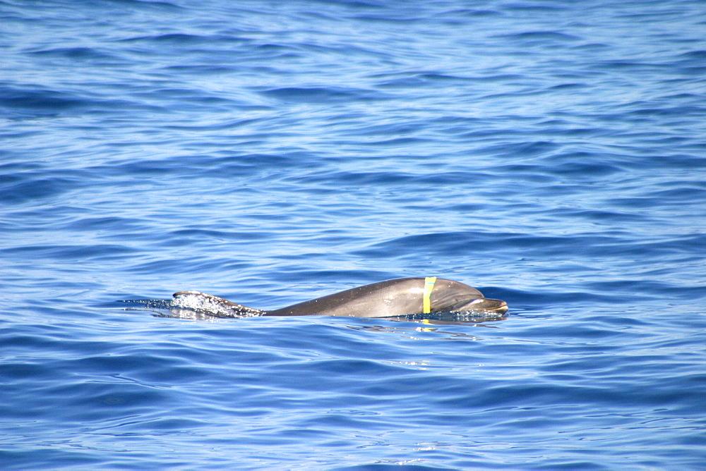 Bottlenose dolphin at surface with plastic around head (Tursiops truncatus) Azores, Atlantic Ocean   (RR)
