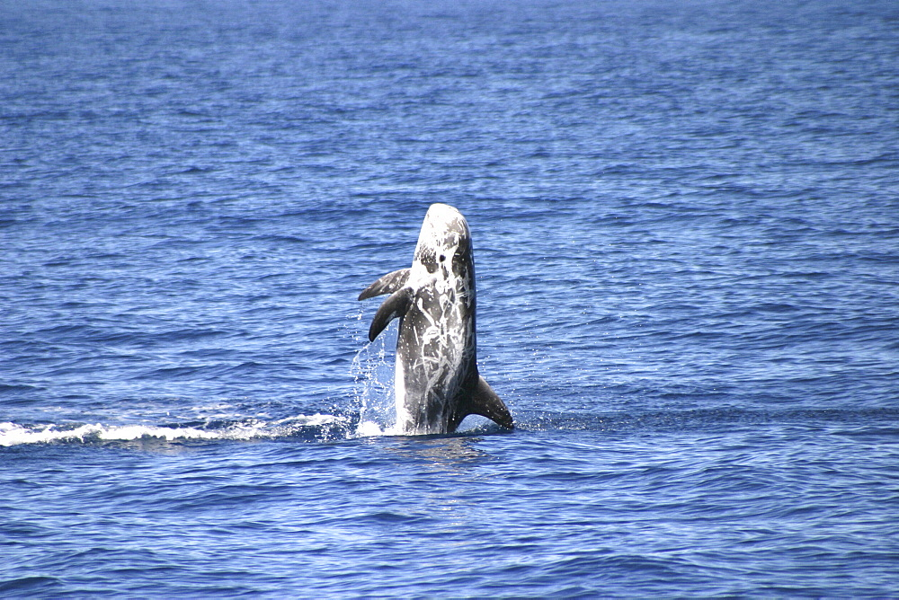 Risso's Dolphin, Grampus griseus, breaching off the Azores Islands   (RR)