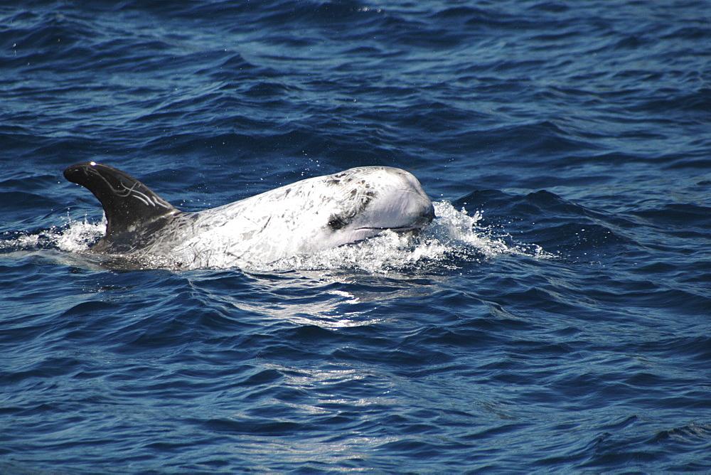 Risso's Dolphin, Grampus griseus, swimming off the Azores Islands   (RR)