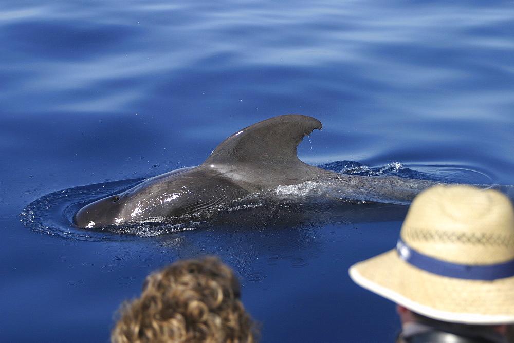 Short-fin Pilot Whale (Globicephala macrorhynchus). Azores   (RR)