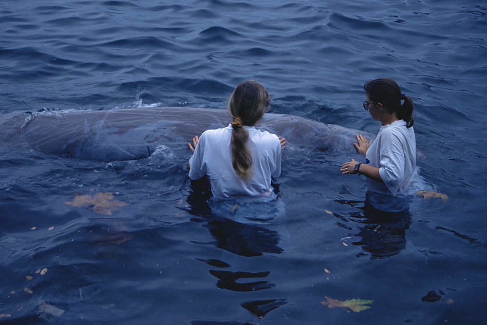Cuvier's Beaked Whale (Ziphiius cavirostris) rescue in Horta Harbour. Azores - 969-160